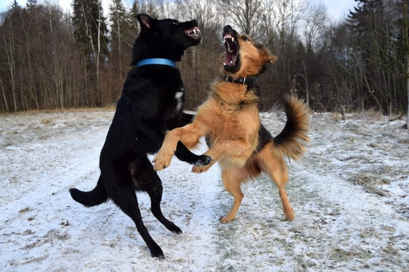 dogs fighting for alpha position